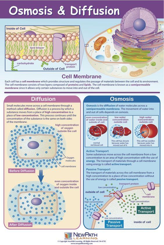 osmosis biology coursework